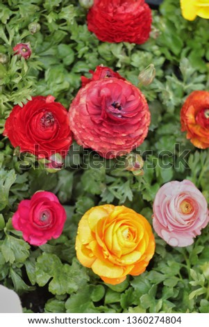 Colorful roses, red rose and yellow rose and orange rose and pink rose. #1360274804