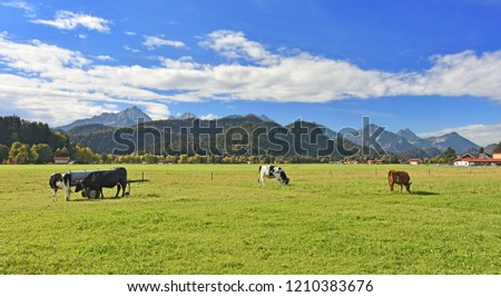 Colorful rural landscape at the edge of the Alps. Cows grazing on a pasture. A few houses, forests and rocky mountains in the background under blue sky. Allgaeu Alps, Bavaria, Germany. #1210383676