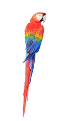 Colorful Scarlet Macaw aviary, back profile, isolated on white