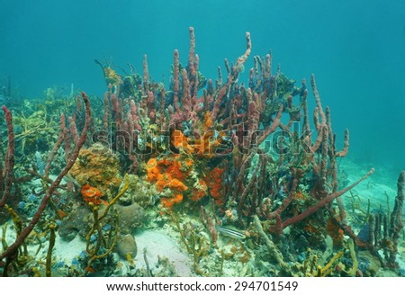 Colorful sea sponge animals underwater, mostly red tree sponge in a Caribbean coral reef, Mexico