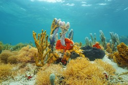Colorful sea sponges underwater on seabed of the Caribbean sea