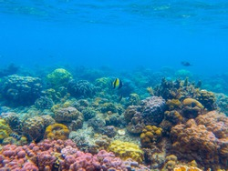 Colorful seascape with angelfish and coral reef. Underwater view of sea bottom. Tropical sea snorkeling or diving. Undersea wildlife. Endangered marine nature. Undersea scene. Coral reef landscape