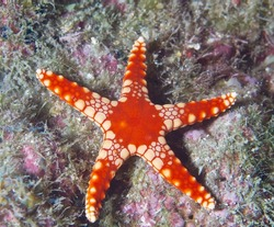 Colorful seastar (Linkia laevigata) clings to a diverse coral reef.