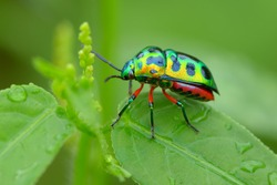 Colorful Shield Bug