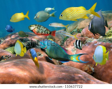 Colorful shoal of tropical fish above massive starlet coral, Caribbean sea