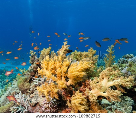 Colorful soft and hard corals surrounded by fish with a diver in the background on a tropical coral reef in the Red Sea