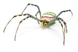 Colorful spider on white background. Tropical insect crab spider closeup photo. Exotic spider detailed macrophoto. Yellow black striped insect. Creepy animal of tropic jungle. Insect hunter.