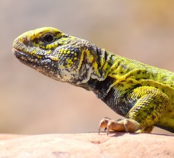colorful spiny-tailed lizard of southern Morocco