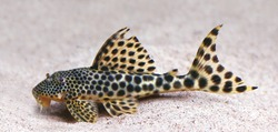 colorful spotted tropical catfish swimming  in aquarium