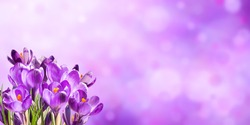 Colorful spring background with crocus flowers. Saffron purple nature backdrop
