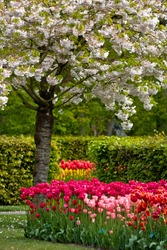 Colorful spring flowers and blossom in dutch spring garden 'Keukenhof' in Holland