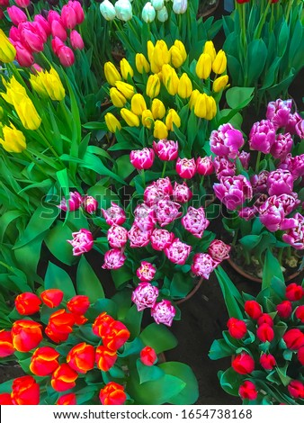 Colorful spring flowers tulips. Flower beds with bright tulip flowers. Spring floral dutch background.