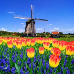 Colorful spring flowers with classic Dutch windmill, Netherlands