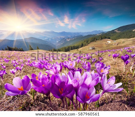 Colorful spring landscape in Carpathian mountains with fields of blooming crocuses. Marvelous outdoors sunrise in the mountain valley. Ukraine, Europe. Beauty of nature concept background.