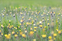 Colorful spring meadow with plenty of field flowers