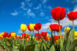 Colorful spring tulip fields. Dutch multicolored vibrant red and yellow flowers tulips and blue sky. Spring floral background.