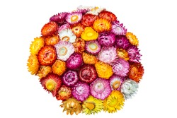 Colorful  Straw Flower Bouquet on white isolated. The most popular varieties are Bright Bikinis. Scientific name is Helichrysum bracteatum