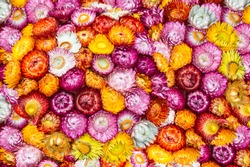 Colorful Straw flowers (Everlasting flowers), Scientific name is Helichrysum bracteatum