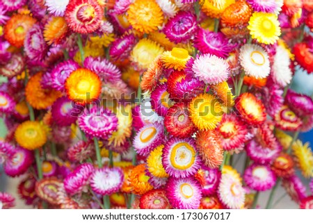Colorful strawflowers scientific name is helichrysum bracteatum colorful strawflowers scientific name is helichrysum bracteatum mightylinksfo