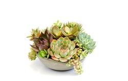 Colorful succulent plants collection bouquet arrangement in ceramic bowl white background