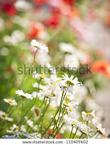 Colorful summer meadow with blooming daisies and poppies