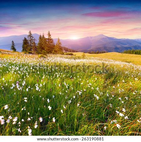 Colorful summer sunrise in the  mountains with a field of feather grass flowers #263190881