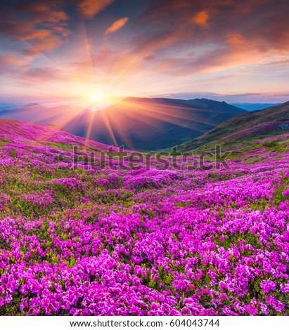 Stock Photo Colorful summer sunrise with fields of blooming rhododendron flowers. Amazing outdoors scene in the Carpathian mountains, Ukraine, Europe. Beauty of nature concept background.