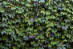 Colorful Summer Virginia Creeper, Wild Grape Background. Abstract Green and  Blue Leaves Background. Green Leaves Creeper Plant On A Wall