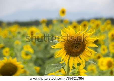 colorful sunflowers in the field