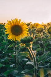 Colorful sunset over a sunflower field. Field of sunflowers. Sunflowers flowers. Sunflower field blooming during the Summer. Sunflowers sunset.