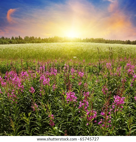 Colorful sunset over flower field.