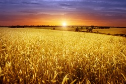 Colorful sunset over wheat field.
