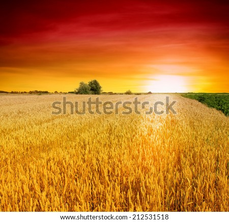 Colorful sunset over wheat field #212531518