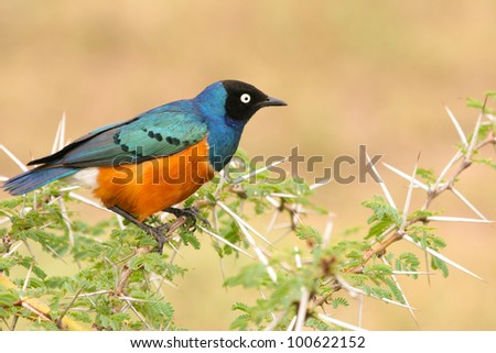 Colorful Superb Starling on the wood, Samburu, Kenya