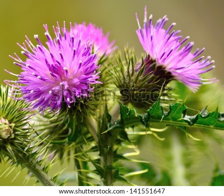 Colorful thistle flowers in all its splendor, early spring