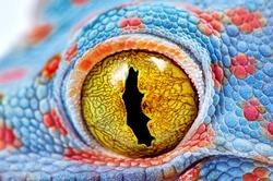 Colorful Toke's gecko amazing eye macro