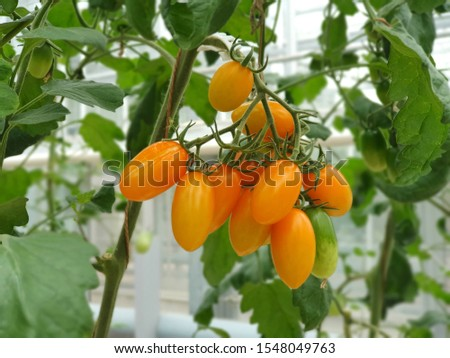 Colorful Tomatoes(vegetables and fruits) are growing in indoor farm/vertical farm. Vertical farming is sustainable agriculture for future food.