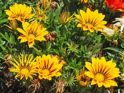 Colorful treasure Gazania Rigens blossoms, close up. Fresh, daisy-like, attractive yellow flower or wild trailing Gazania Rigens, with furry green leaves, is ornamental plant in the Asteraceae family.