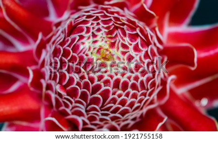 Colorful Troch Ginger (Etlinger Elation) Flower in the nature. Beautiful wet petals on a sunny spring day. Fibonacci mathematical sequence or golden ration found in nature. Zdjęcia stock ©