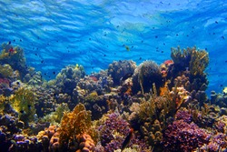 Colorful tropical coral reef with fish and blue water. Underwater ecosystem in the shallow sea. Fish, corals and water surface with waves. Scuba diving with marine wildlife.