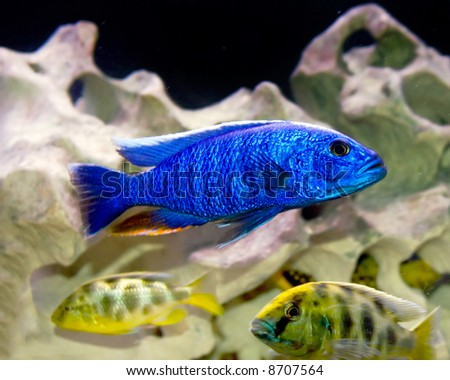 colorful tropical fish of the cichlid family