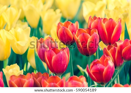 Colorful tulip flower, Tulip flower and green leaves background. Beautiful tulip flower in the garden at sunny summer or spring day.