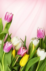 Colorful tulip flowers in a bottom border on pink waved background