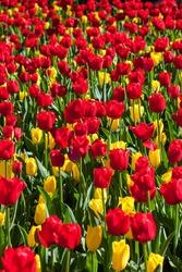 Colorful tulip flowers in full bloom
