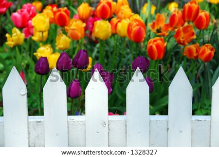 Colorful tulips behind white fence
