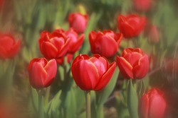 Colorful tulips blossom in spring
