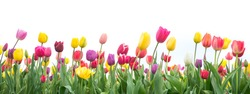 Colorful tulips in a field on a white background