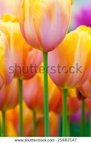 Colorful tulips in spring(Keukenhof, The Netherlands)