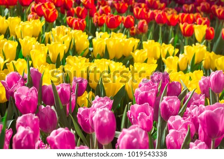 Stock Photo Colorful tulips in the flower garden.
