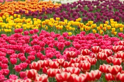 Colorful tulips in the garden.